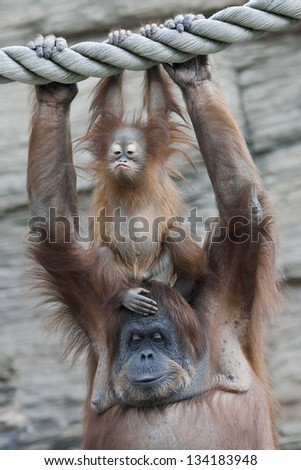 Unchildish expression of an orangutan baby on his mother - stock photo