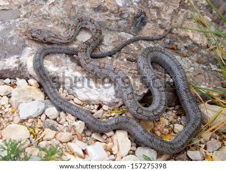 Uncommon west Texas snake, a juvenile Baird's Ratsnake, Pantherophis (Elaphe) bairdi - stock photo