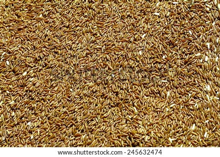 Uncooked Brown rice grains - stock photo