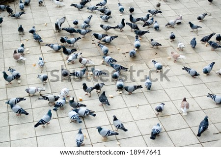 Uncountable number of doves pecking bread - stock photo