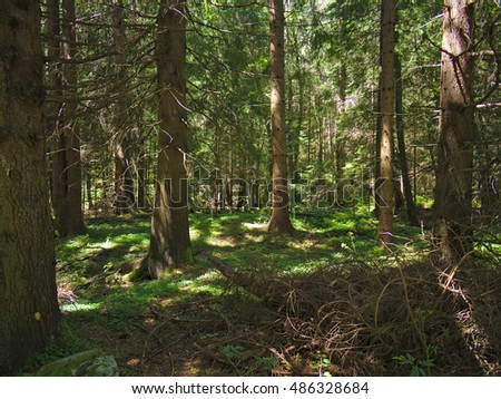 Under spruce forest foliage