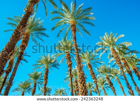 Under the Palms in Coachella Valley California. Palms and the Blue Sky. - stock photo