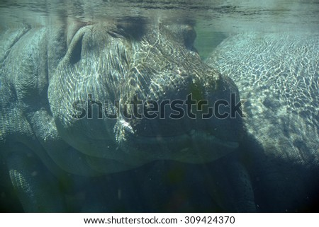 """Under water hippopotamus (Hippopotamus amphibius), or hippo, from the ancient Greek for """"river horse"""" , is a large, mostly herbivorous mammal in sub-Saharan Africa. - stock photo"""