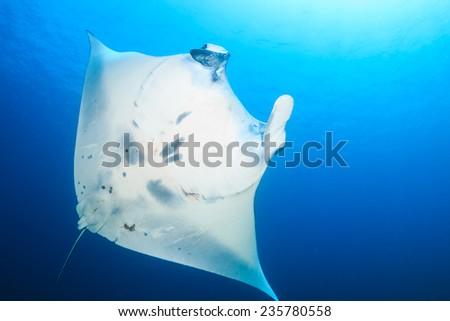 Underside of a huge Manta Ray - stock photo
