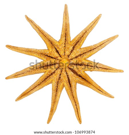 Underside of an eleven armed starfish, izolated on white background