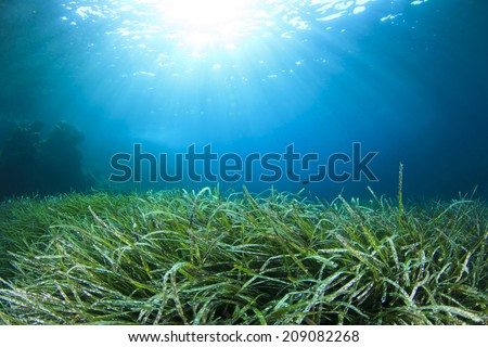 Underwater background green seaweed blue water - stock photo