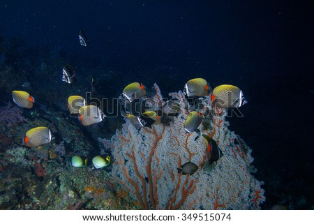 Underwater Blue Sea and group of white collar butterfly fish near sea fan.  - stock photo