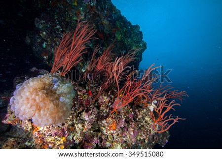 Underwater Blue Sea and reddish hard coral.