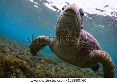 Underwater close up shoot of a sea turtle (Chelonioidea) looking to a camera - stock photo