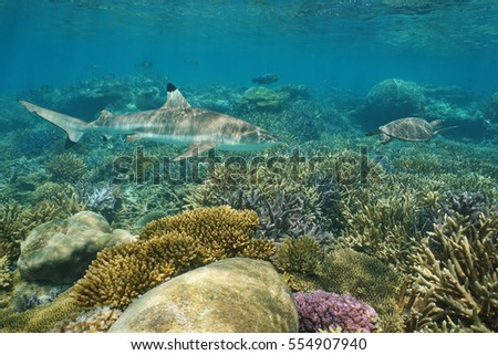 Underwater coral reef with a blacktip reef shark and a green sea turtle, south Pacific ocean, New Caledonia