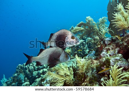 Underwater Coral reef with Black Margate fish swimming - stock photo