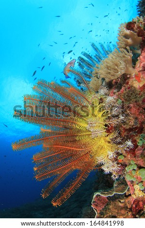 Underwater Coral Reef with Featherstars