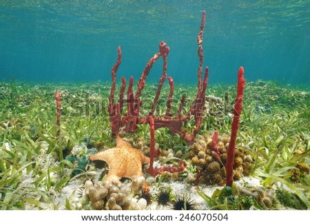 Underwater creatures, Erect rope sponge and Cushion starfish on shallow seabed of the Caribbean sea - stock photo
