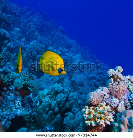 underwater deep blue sea coral garden with butterfly fish and many other kinds of fihsh