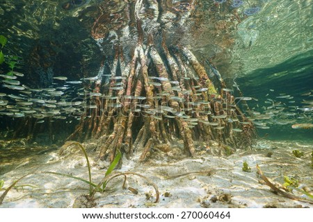 Underwater ecosystem, shoal of juvenile fish swimming near mangrove roots, Caribbean sea, Belize - stock photo