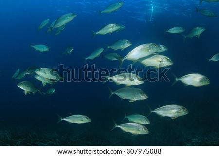 Underwater fish school Amberjacks - stock photo