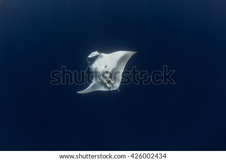 Underwater  Giant  Pacific Manta gracefully swims  in the pacific waters - stock photo