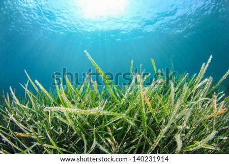 Underwater Green Grass - stock photo