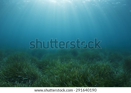 Underwater green sea grass and blue ocean water - stock photo