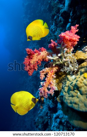 Underwater image of coral reef and Masked Butterfly Fish - stock photo