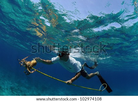 Underwater image of man catching lobster with a speargun while free diving in ocean - stock photo
