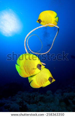 Underwater image of Masked Butterfly Fish,  Group of Scuba Divers silhouetted and spiral coral against ocean surface - stock photo
