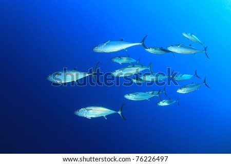 Underwater Image of School of Dogtooth Tuna Fish in the Sea - stock photo