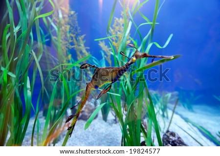underwater image of sea dragon - stock photo