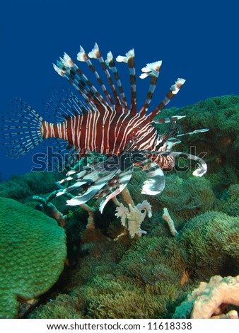 Underwater indonesia, Lion fish hangs on the reef waiting for the attack. - stock photo