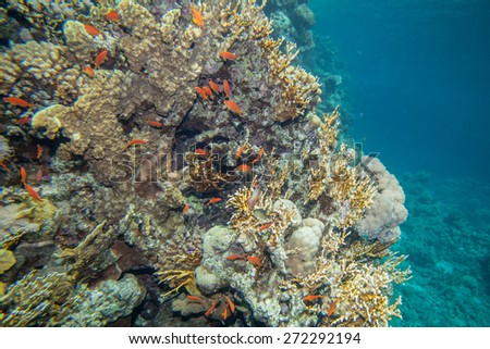 Underwater landscape. Red sea coral reef and sea goldie fish - stock photo