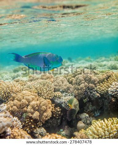 Underwater landscape. Red sea coral reef.  Big scarus fish swimming around - stock photo