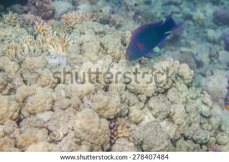 Underwater landscape. Red sea coral reef. Medium size blue scarus fish - stock photo