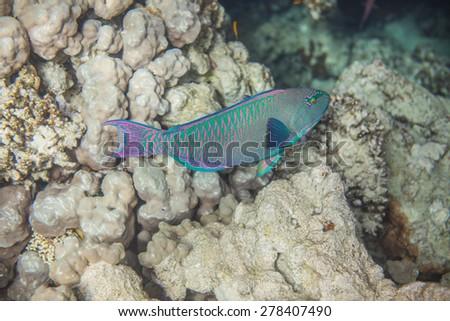 Underwater landscape. Red sea coral reef. Medium size green scarus fish - stock photo