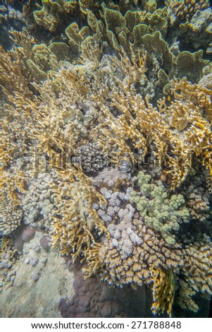Underwater landscape. Red sea coral reef. Millepora dichotoma - stock photo