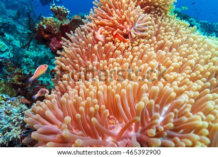 Underwater Landscape with  Anemone Fish near Tropical Coral Reef, Bali, Indonesia