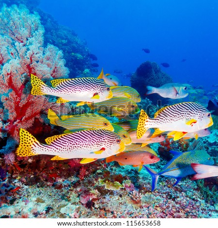 Underwater Landscape with  Sweetlips Fishes near Tropical Coral Reef, Bali, Indonesia - stock photo