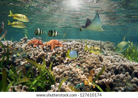 Underwater life in a shallow coral reef with tropical fish, starfish and an eagle ray - stock photo