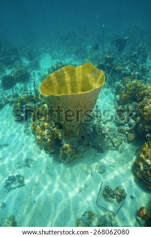 Underwater life, large vase sponge, Ircinia campana, in the Caribbean sea - stock photo