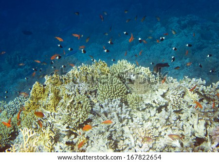 Underwater life of Red sea in Egypt. Saltwater fishes and coral colony reef - stock photo