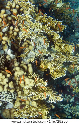 Underwater life of Red sea in Egypt. Saltwater fishes and coral colony reef. Sunlight in deep blue water. Fire coral - stock photo
