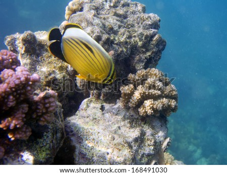 Underwater life of Red sea in Egypt. Saltwater fishes and coral reef. Butterflyfish Chaetodon family.  - stock photo