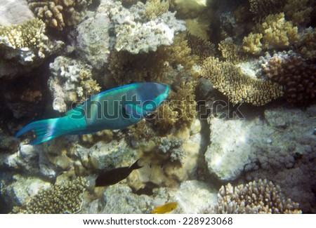 Underwater life of Red sea in Egypt. Saltwater fishes and coral reef. Parrot fish on a front plane, Scaridae Cichlid family - stock photo