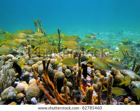 Underwater life with a shoal of french grunt fish in a coral reef, Caribbean sea, Bocas del Toro, Panama