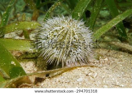 Underwater marine life, Lytechinus variegatus commonly called green sea urchin or variegated sea urchin, Caribbean sea - stock photo