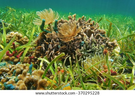 Underwater marine life on a shallow seabed with seagrass in the Caribbean sea - stock photo