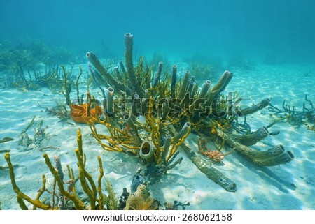 Underwater marine life on sandy seabed of the Caribbean sea, mostly branching vase sponge and scattered pore rope sponge - stock photo
