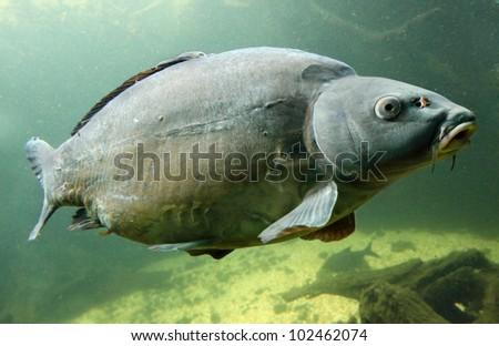 Underwater Photo Big Carp (Cyprinus Carpio) Trophy fish in The Hracholusky lake, Czech Republic, Europe. - stock photo
