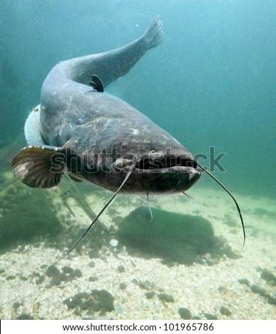 Underwater Photo Big Catfish Silurus Glanis Stock Photo ...