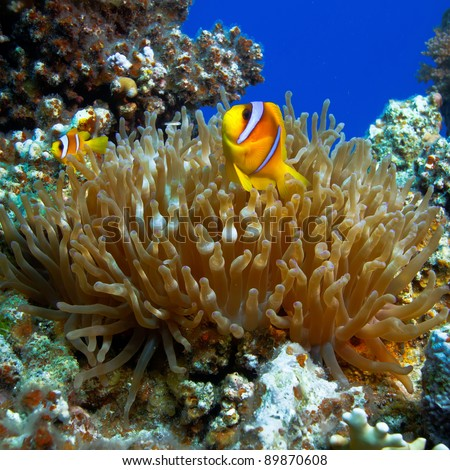 underwater photo coral garden with anemone and a pair of yellow clownfish dad and son