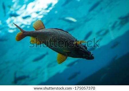 Underwater photo of a big fish - stock photo